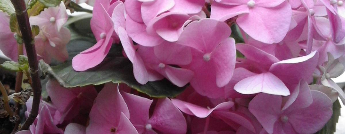 hortensia, flores para bodas, flores para comuniones